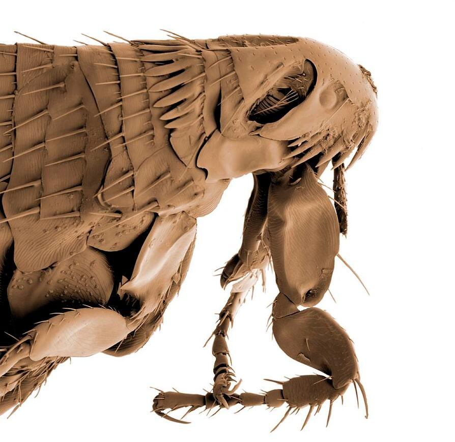 Head and thorax of a cat flea, many segments with hairs and jaggend lines all monotone against a white background.  The creature looks unearthly and alien.